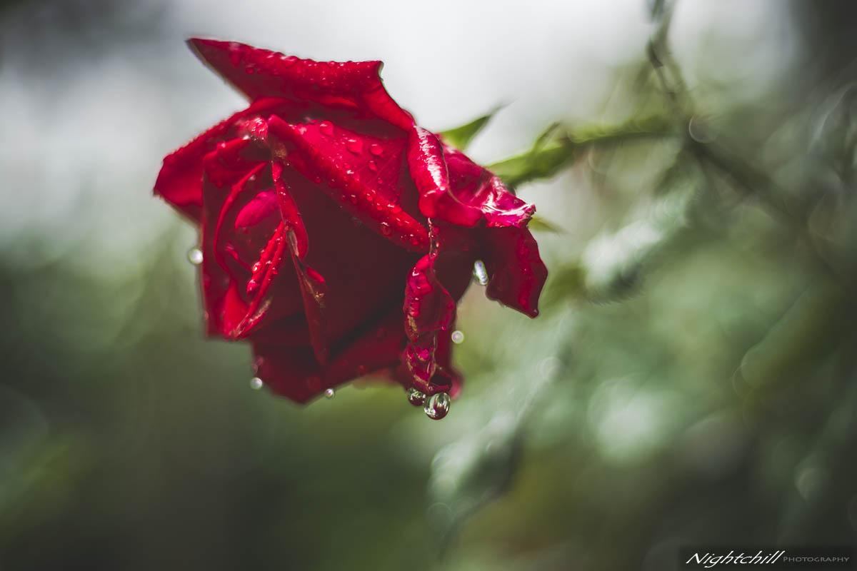 красива българска роза - червена